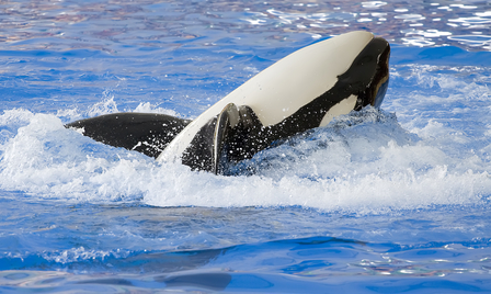 SeaWorld and the Blackfish Documentary Essay
